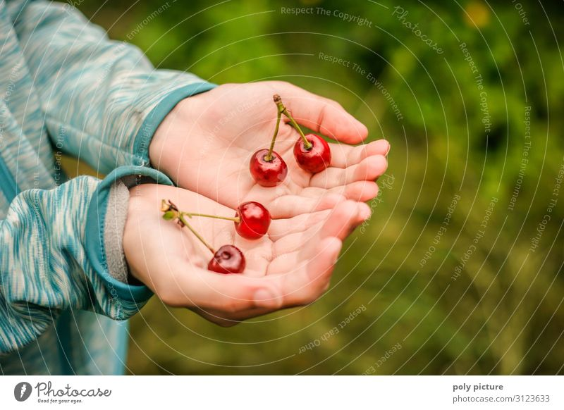 two hands holding 2 pairs of freshly picked cherries Green Agricultural crop Nature Summer's day self-sufficiency Fruit trees Germany Garden plot Hand Blur