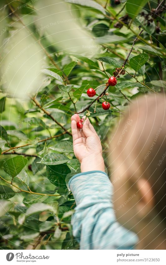 Young girl picking cherries in the garden Shallow depth of field Blur Detail Close-up Exterior shot Colour photo Climate protection regional products