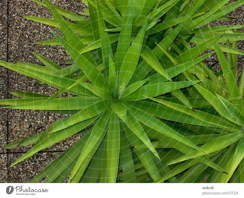 Rain Palm tree