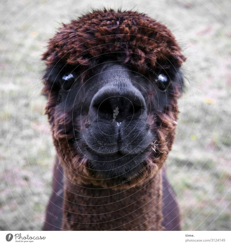 Yes, please? Animal Farm animal Animal face Alpaca 1 Observe Looking Wait Dark Self-confident Willpower Watchfulness Serene Calm Endurance Curiosity Surprise