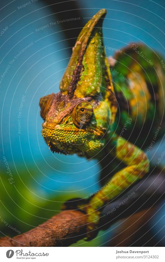 Chameleon Animal Tree Virgin forest Green chameleon Living thing jungle animals jungle canopy jungle wildlife lizard rainforest wildlife Reptiles Treetop