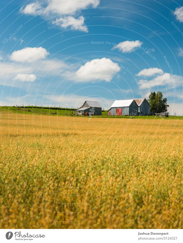 Fields of Gold Landscape Agricultural crop Beautiful agriculture atlantic canada atlantic provinces Canada canadian countryside Crops Farm field food grain