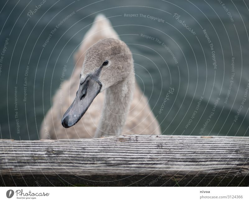 young swan Trip Freedom Environment Nature Lake Lake zurich Animal Bird Swan Animal face Wing 1 Wood Water Swimming & Bathing Observe Wait Healthy Natural
