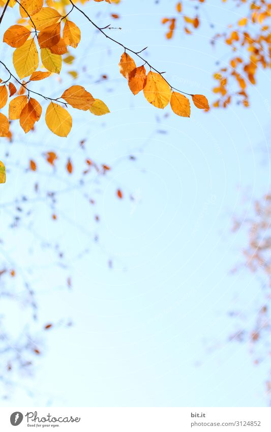 Orange autumn leaves on the branch, before blue sky Environment Nature Plant Air Sky Cloudless sky Autumn Climate Weather Beautiful weather Tree Leaf Hang