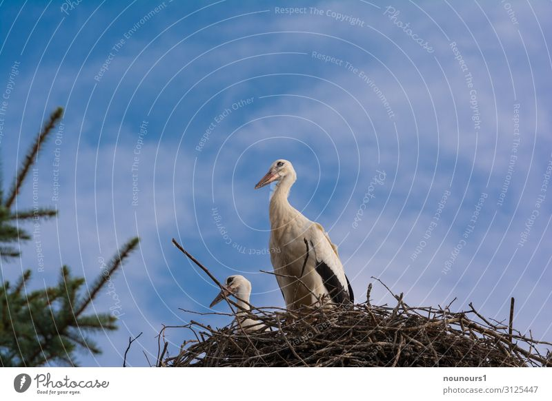 Two storks in the nest Animal Wild animal Stork 2 Animal family Build Observe Stand Together Blue Brown Green Black White Cool (slang) Loyalty Peaceful