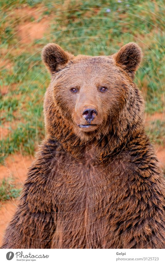 Portrait of a brown spanish bear Man Adults Mouth Nature Animal Park Forest Fur coat Teddy bear Aggression Large Strong Wild Brown Black Power Appetite