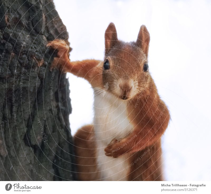 Curious squirrel on a tree Nature Animal Sunlight Tree Tree trunk Forest Wild animal Animal face Pelt Claw Paw Squirrel Head Eyes Ear Nose Muzzle Rodent 1