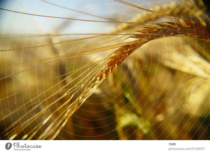 wheat ear Nature Plant Autumn Grass Field Yellow Wheat Wheat ear Colour photo Close-up Detail Deserted Copy Space bottom Day Shallow depth of field