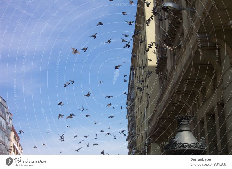 Pigeons in Barcelona Bird Town Flock Freedom Sky Flying