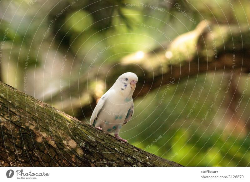 White Budgerigar parakeet bird Melopsittacus undulatus Nature Animal Pet Bird 1 budgie Melopsittacus undulates white budgie parrot Wild bird Feather Beak