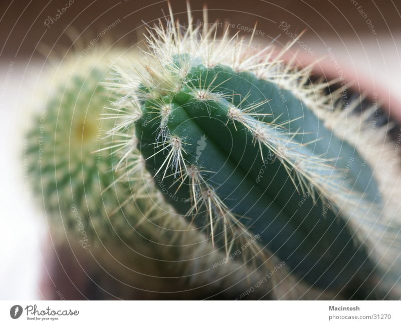 Green Plant Point Cactus Thorn