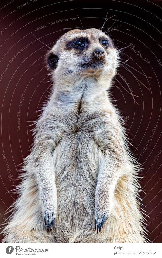 Meerkat (Suricata suricatta), also known as the suricate. Face Safari Zoo Nature Animal Sit Stand Small Cute Wild Anticipation Nerviness wildlife Mammal african