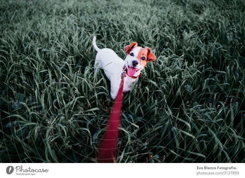 cute small jack russell dog in countryside among green grass Lifestyle Joy Relaxation Leisure and hobbies Playing Nature Landscape Animal Spring Summer Autumn