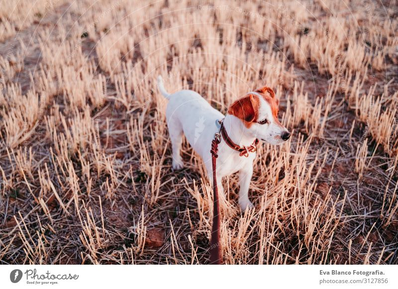 cute small jack russell dog in countryside. Yellow field Nature Dog Summer Beautiful White Landscape Relaxation Animal Joy Healthy Lifestyle Autumn Love Spring