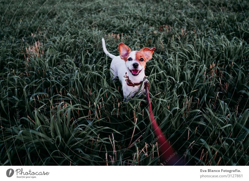 cute small jack russell dog in countryside among green grass Lifestyle Joy Relaxation Leisure and hobbies Playing Nature Landscape Animal Sunrise Sunset Spring