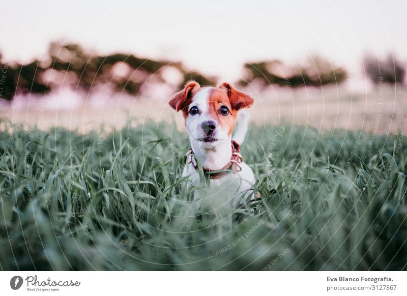 cute small jack russell dog in countryside among green grass Nature Dog Summer Beautiful Green White Landscape Flower Relaxation Animal Joy Winter Lifestyle