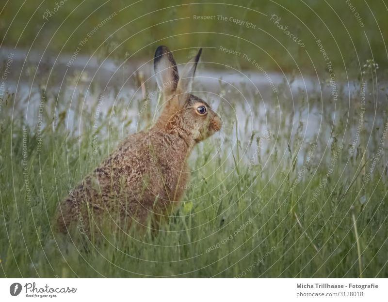 Rabbit in the meadow Nature Animal Sunlight Grass Meadow Blade of grass Wild animal Animal face Pelt Hare & Rabbit & Bunny Head Ear Eyes 1 Observe Looking Sit