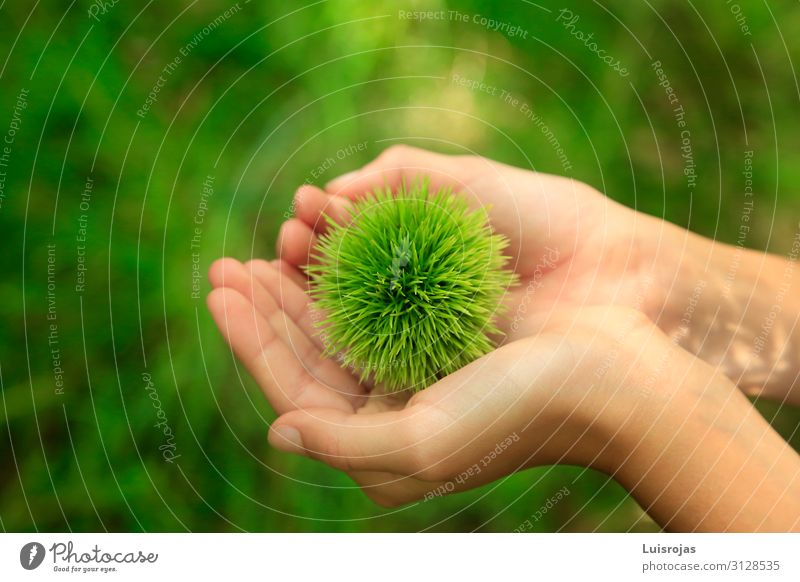 child's hands with green hedgehog in the field chessnut Healthy Leisure and hobbies Adventure Environment Nature Plant Exotic Forest Green Colour photo