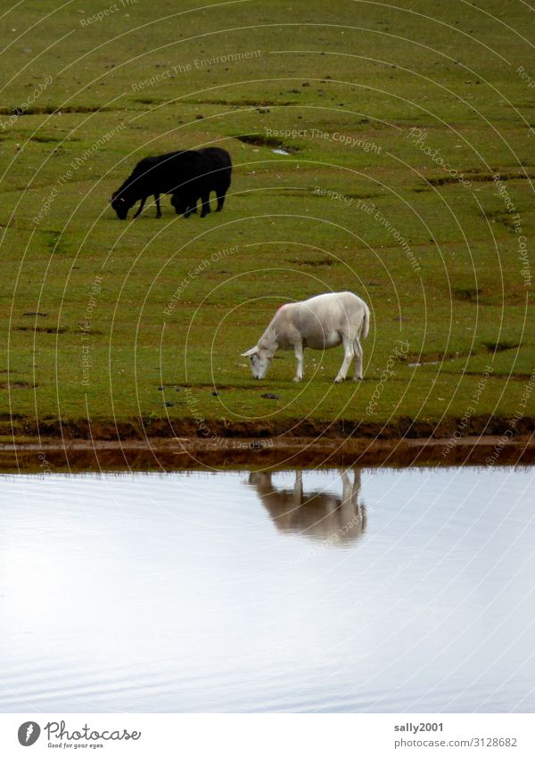 Opposites | black and white... Sheep White Black Black sheep grazing sheep Willow tree River Water Reflection reflection antagonism black-white Herd Flock Mixed