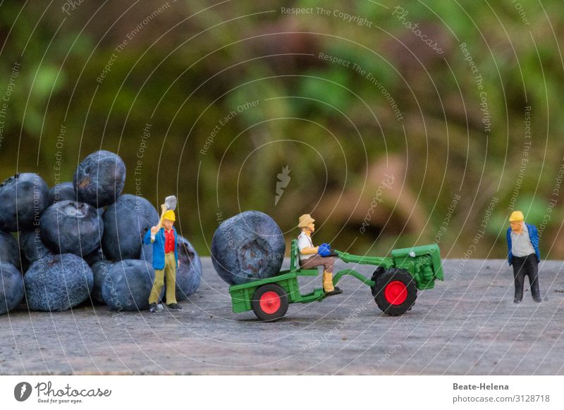 Three harvesters organize the harvest of oversized blueberries with shovels and excavators toy world Seasonal farm worker Blueberry fruit Summer salubriously