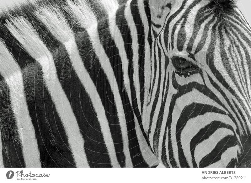 Zebra Stripes - Iconic Art in Nature Vacation & Travel Tourism Trip Adventure Sightseeing Safari Environment Animal Wild animal zebra background 1 Authentic