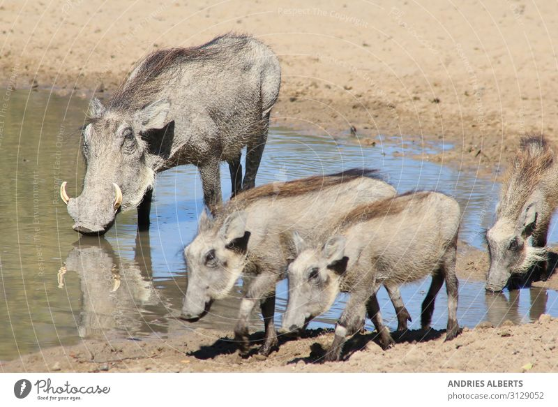 Warthog Family - African Wildlife Vacation & Travel Tourism Adventure Freedom Sightseeing Safari Expedition Summer Summer vacation Sun Environment Nature Animal