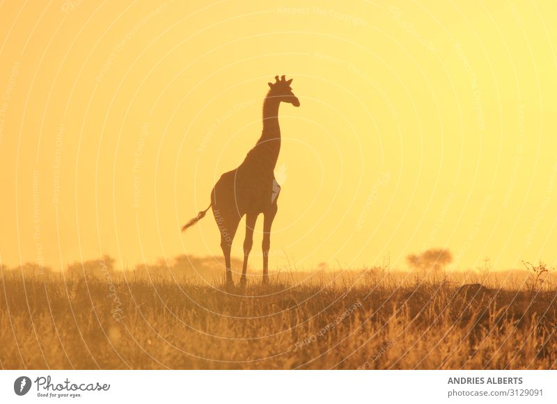 Giraffe Silhouette - Wildlife Wonders from Africa Vacation & Travel Tourism Trip Adventure Freedom Safari Expedition Summer Summer vacation Sun Environment