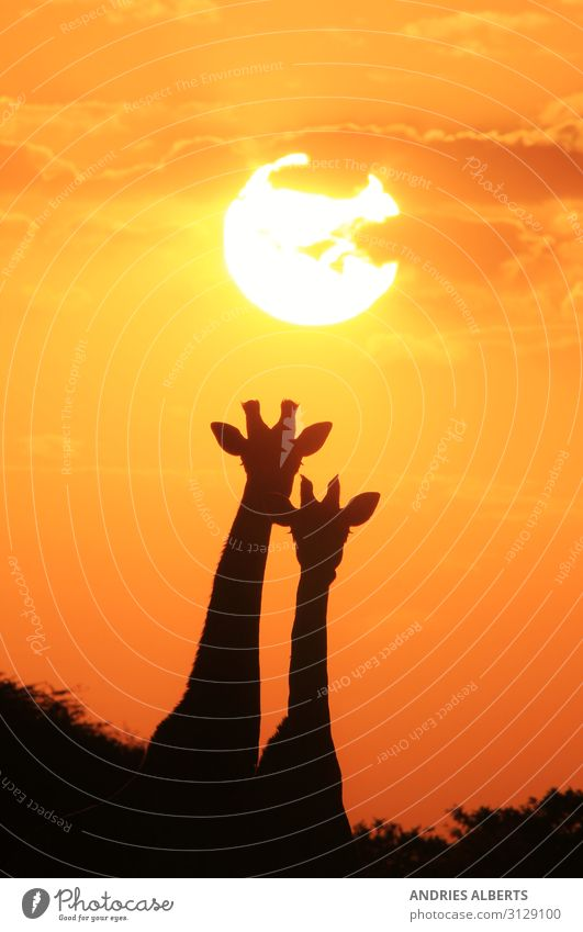 Giraffe Silhouette - Under a Magical Sun Vacation & Travel Tourism Trip Adventure Freedom Sightseeing Safari Expedition Summer Summer vacation Environment