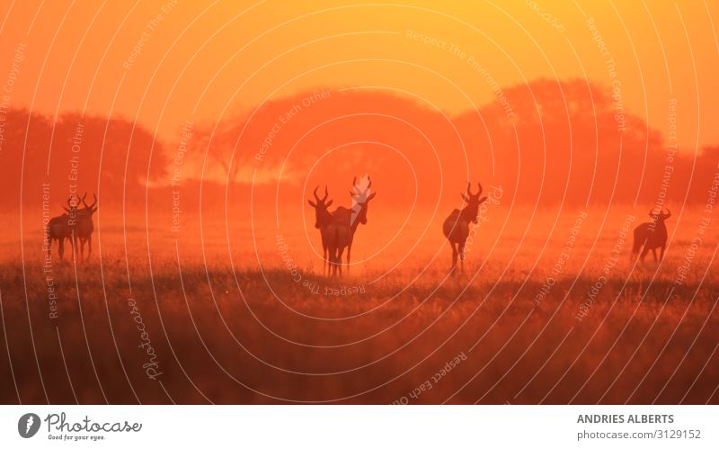 Hartebeest - Silhouette of a Red Sunset Vacation & Travel Tourism Trip Adventure Freedom Sightseeing Safari Expedition Environment Nature Landscape Animal