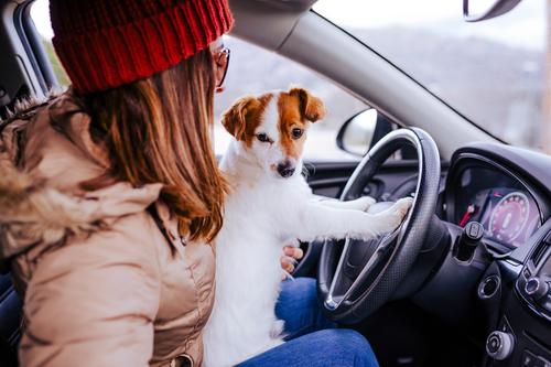 young woman in a car with her cute small jack russell dog Lifestyle Leisure and hobbies Vacation & Travel Trip Winter Human being Feminine Young woman