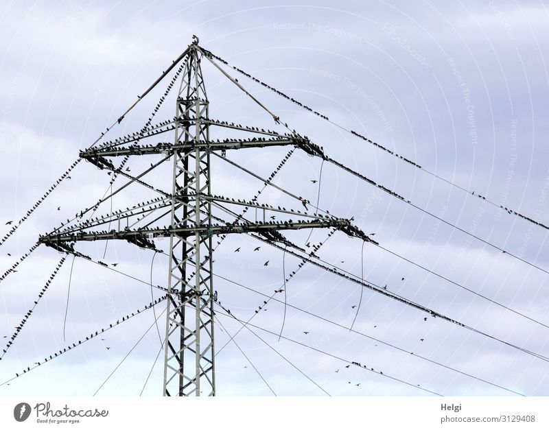 many starlings sit on a power pole and on power lines in front of a grey-blue sky Energy industry Electricity pylon High voltage power line Environment Nature