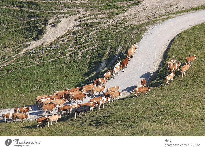 Herd of cows on the move during the spring uplift of alpine pastures Chiemgau Alps Mountain Landscape Environment Nature Cattleherd Movement of livestock Spring