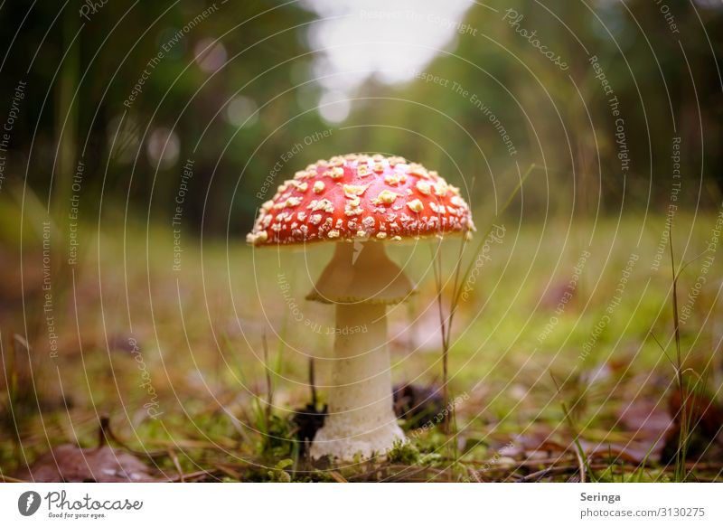 Fly agaric on the forest path Environment Nature Landscape Plant Animal Sunlight Autumn Tree Grass Park Meadow Forest Growth Mushroom poisonous mushroom
