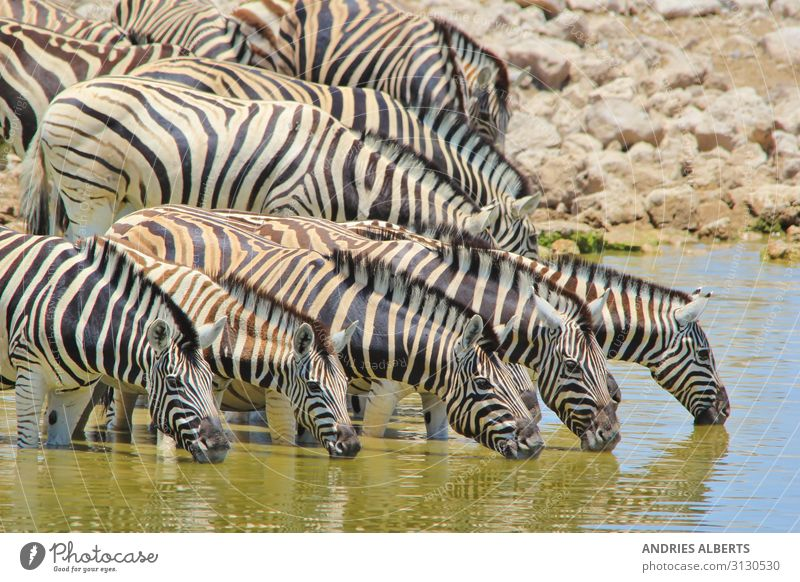 Zebra Magic - Reflection of Stripes Relaxation Calm Vacation & Travel Tourism Trip Adventure Freedom Sightseeing Safari Expedition Summer Summer vacation