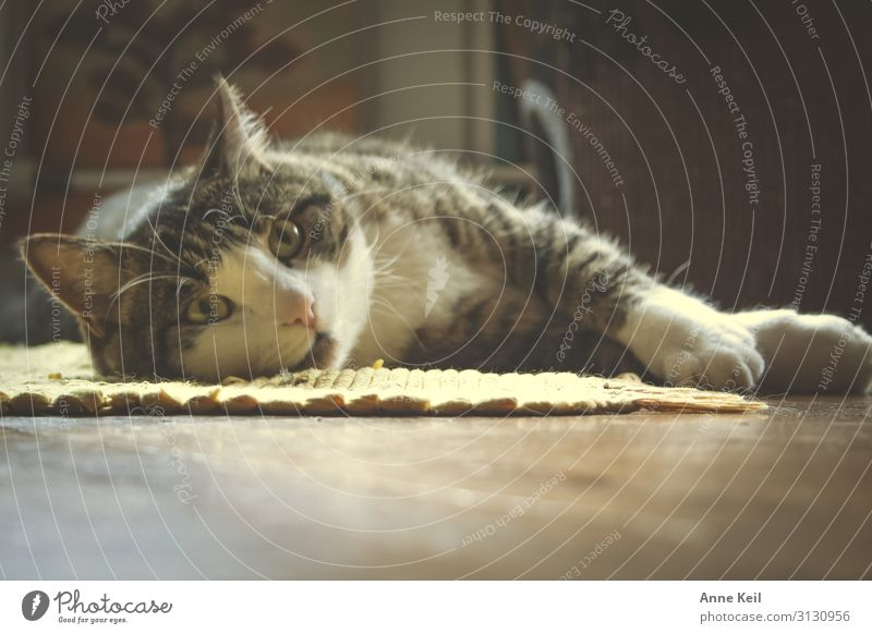 Cat White Relaxation Animal Black Warmth Love Natural Emotions Brown Contentment Wild Dream Gold Elegant Esthetic
