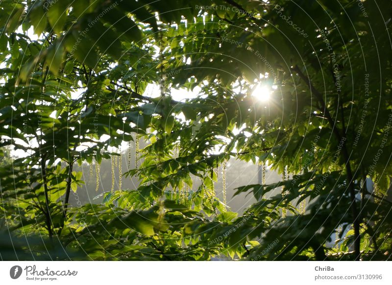 Summer evening in the park Environment Nature Landscape Plant Sun Sunrise Sunset Sunlight Spring Tree Leaf Foliage plant Wild plant Glittering Looking