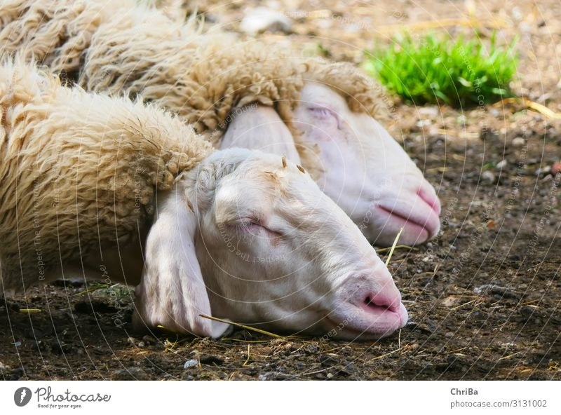 Sweet dreams Nature Animal Spring Pet Farm animal Animal face 2 Pair of animals Breathe Sleep Healthy Good Cuddly Natural Warmth Soft Gray Green White Trust