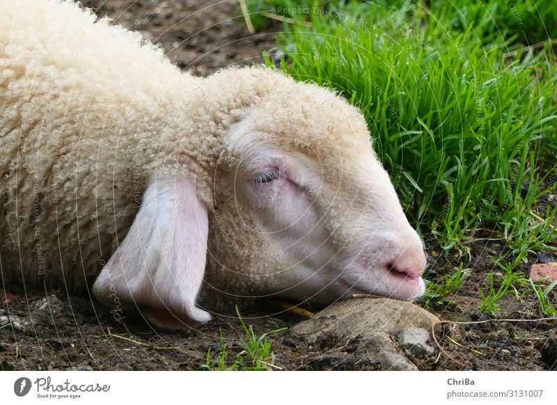 Sweet Dreams Environment Nature Animal Earth Spring Beautiful weather Plant Grass Village Farm Agriculture Pet Farm animal Animal face Sheep Lamb Sleep Free