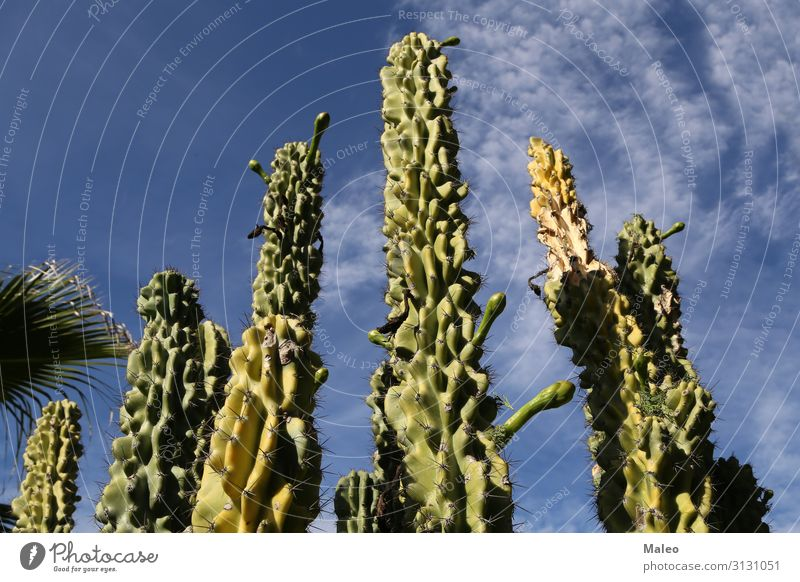 Cacti on a background of the blue sky Blue Cactus Large Sky Desert Dry Vacation & Travel Travel photography Landscape Nature Plant Background picture Flower