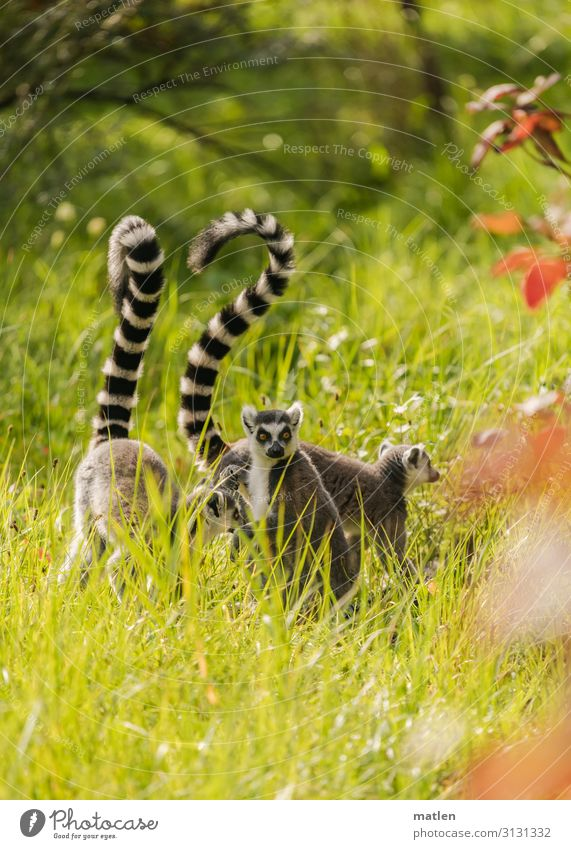Lemurs on a morning walk Grass Meadow Group of animals Deserted Gray Green Red To go for a walk Exterior shot Day Colour photo
