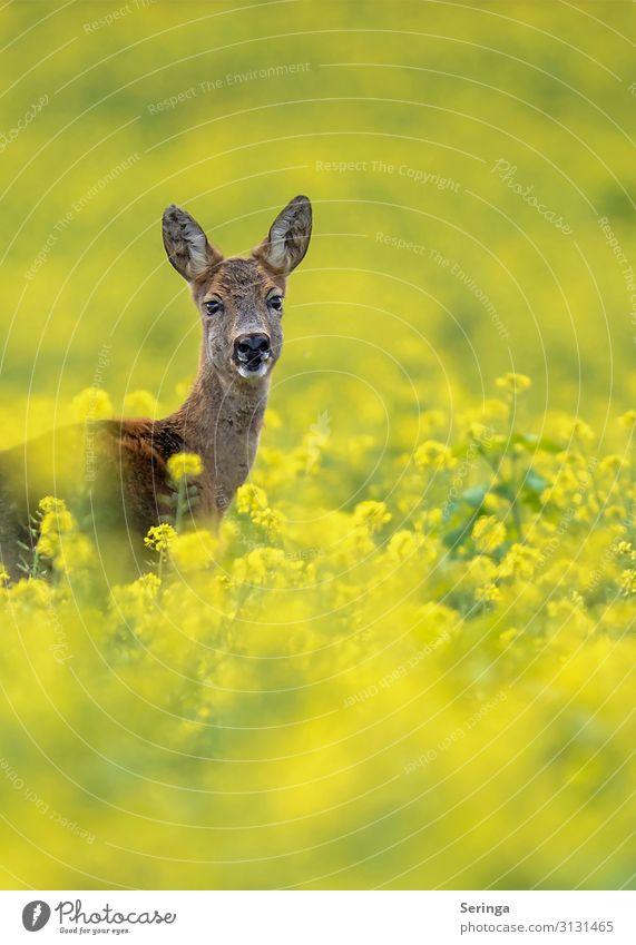 Nature Plant Landscape Flower Animal Forest Meadow Movement Grass Wild animal Observe Pelt Animal face Roe deer Canola field Doe eyes