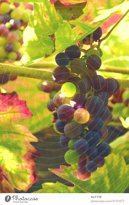 grapes Landscape Plant Autumn Beautiful weather Agricultural crop Vine Garden Blue Multicoloured Yellow Green Violet Red Black Tendril Autumnal colours Immature