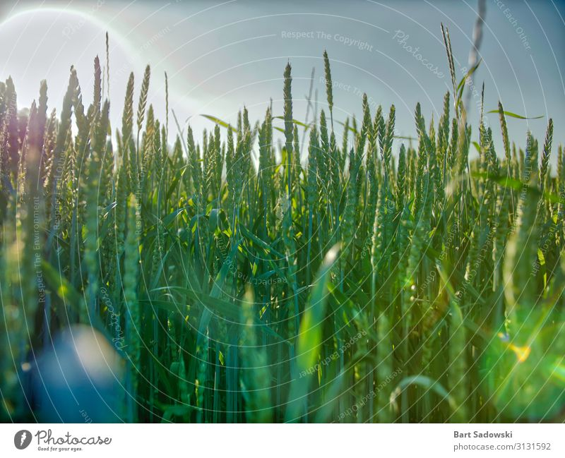 Young Wheat field Detail with sun glare Grain Organic produce Healthy Eating Life Plant Grass Agricultural crop Field To feed Feeding Growth Fresh Natural Green
