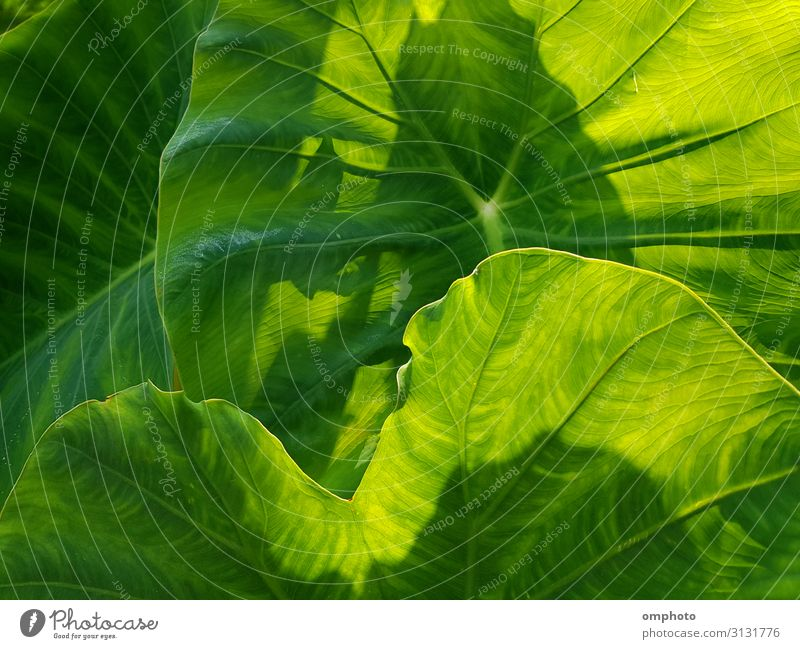 Green Philodendron Leaves as Pattern Background Beautiful Summer Garden Decoration Wallpaper Climbing Mountaineering Nature Plant Spring Bushes Leaf Forest