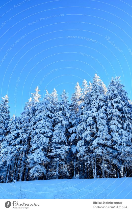 winter forest Vacation & Travel Tourism Winter vacation Mountain Hiking Environment Nature Landscape Plant Sky Cloudless sky Beautiful weather Ice Frost Snow