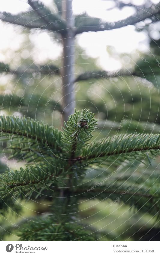 oh tannenbaum (once again) Tree Coniferous trees fir tree Christmas tree Christmas & Advent Fir branch Fir needle Embellish Family party Nature Exterior shot