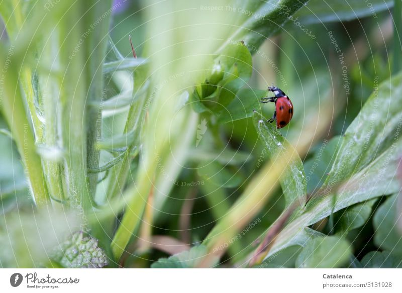 Ladybug crawls from one leaf to the next Red White daylight Garden Crawl Ladybird Insect Beetle Animal fauna flora Nature Meadow Grass Plant Leaf Dandelion