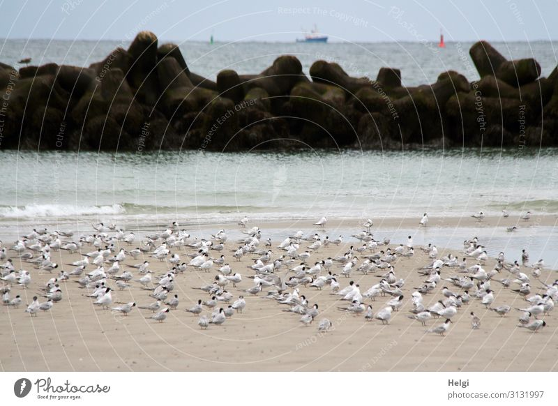 a flock of terns takes a rest on the sandy beach on the dune of Helgoland Environment Nature Landscape Animal Sand Water Summer Beautiful weather Beach