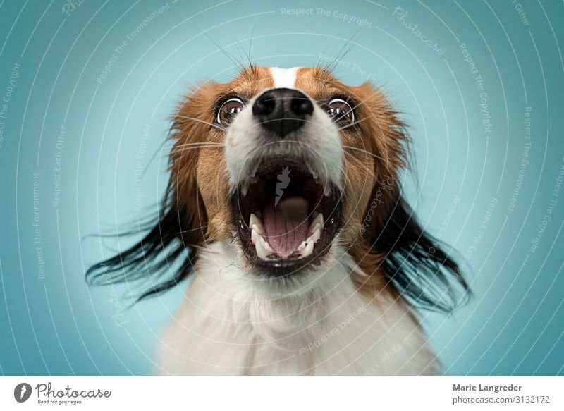 Leckerli comes flown! Animal Pet Dog Muzzle 1 Dog food Catch To feed Blue Multicoloured Orange Love of animals Movement Advertising Colour photo Studio shot