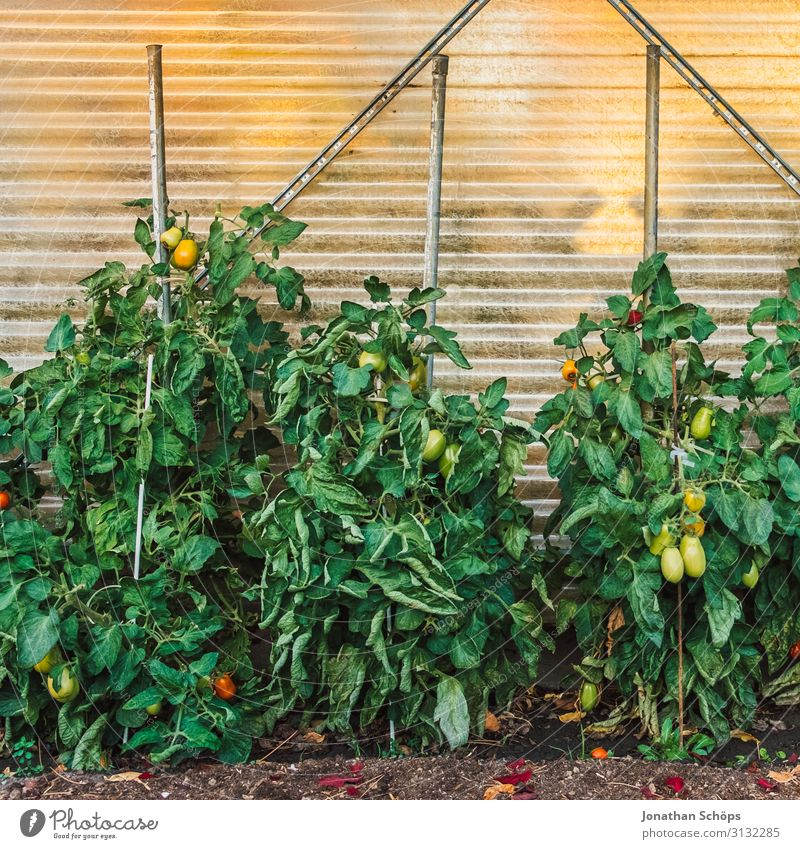 Tomato plants in a garden greenhouse Autumn Multicoloured Garden Gardening Green Greenhouse Growth Solanaceae Exterior shot plant bed Copy Space top Day